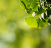 Ginkgo biloba tree branch with leafs Royalty Free Stock Image