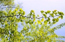 Ginkgo biloba tree Royalty Free Stock Photo