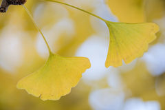 Ginkgo biloba tree. Detail of the yellow leaves of a Ginkgo biloba Royalty Free Stock Images