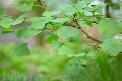 Ginkgo Biloba tree - green leaf Royalty Free Stock Photos