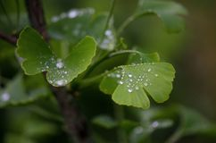 Ginkgo biloba tree leaves with a drop of a water. Detail of green leaves with drops. Green background. Natural medicine. Royalty Free Stock Image