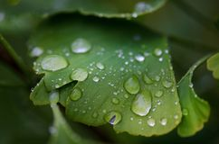 Ginkgo biloba tree leaves with a drop of a water. Detail of green leaves with drops. Green background. Natural medicine. Royalty Free Stock Photography