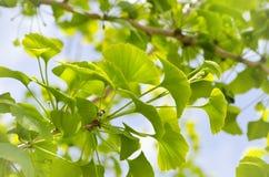 Ginkgo Biloba Tree Stock Image