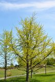 Ginkgo Biloba Tree with Green Leaves in Spring. Ginkgo Biloba Trees with Green Leaves in Spring Stock Photography