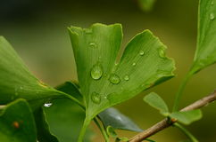 Ginkgo biloba. A view of the tree and leaves after rain Stock Images