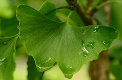 Ginkgo biloba. A view of the tree and leaves after rain Stock Photography