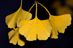 Ginkgo biloba yellow leaves. Leaves of the maidenhair tree turn a golden yellow before falling in Autumn royalty free stock image