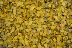 Ginkgo biloba1. A pile of autumn ginkgo leaves, can be used as background Stock Photos