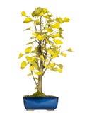 Ginkgo bonsai tree, isolated Royalty Free Stock Photos