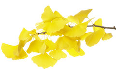 Ginkgo branch. In autumn isolated on white background Stock Image
