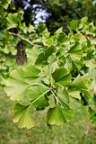 Ginkgo branch Royalty Free Stock Photo