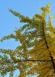Ginkgo branch with yellow leaves royalty free stock photo