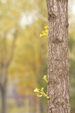 Ginkgo. The close-up of ginkgo trunk and tender shoot Royalty Free Stock Photos