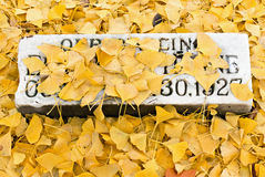 Ginkgo Covered Tombstone Royalty Free Stock Photography