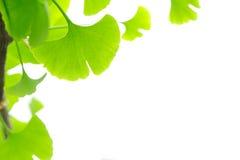 Ginkgo das folhas Fotografia de Stock
