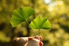 ginkgo de fines herbes Photos libres de droits