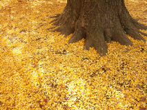 Ginkgo dead leaves Stock Photo