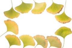 Ginkgo doorbladert frame Royalty-vrije Stock Foto