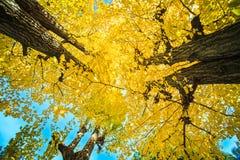 Ginkgo at fall season Stock Images