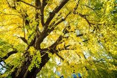 Ginkgo at fall season Royalty Free Stock Image