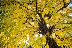 Ginkgo at fall season Stock Photo