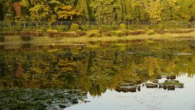 Ginkgo forest reflection in water. stock video footage