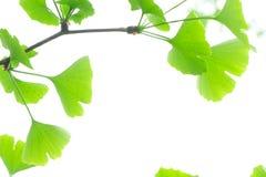 Ginkgo fresco das folhas Imagem de Stock