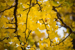 Ginkgo fruit seed herb yellow leaves tree Royalty Free Stock Images