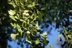 Ginkgo fruits Stock Photos