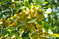 Ginkgo fruits in sunshine. These are called ginkgo fruits which are grown in maidenhair tree stock photos