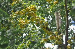 Ginkgo fruits in sunshine. Many ginkgo fruits which are grown in maidenhair tree royalty free stock photo