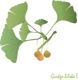 Ginkgo, green leaves, orange and light brown fruit. Medicinal plant, garden, object on white design element Stock Photography