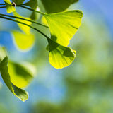 Ginkgo green leaves Royalty Free Stock Photos