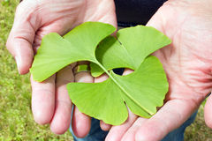 Ginkgo in the hand Royalty Free Stock Photos