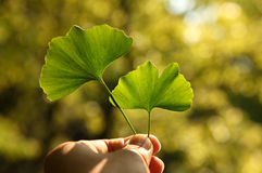 Ginkgo Herbal Royalty Free Stock Photos