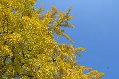 A ginkgo Royalty Free Stock Photography