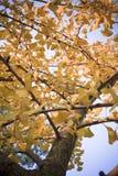 Ginkgo Leaf Stock Photography