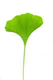 Ginkgo leaf Royalty Free Stock Images