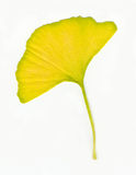 Ginkgo Leaf. A Yellow Ginkgo Leaf in nature royalty free stock photography