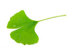 Ginkgo leaf Stock Photo
