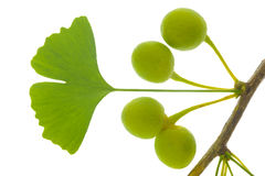 Ginkgo leaf. With fruit isolated over white background Stock Image