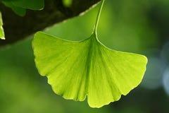 Ginkgo Leaf. Macro image of a back lit ginkgo leaf, oldest living tree species Stock Photo