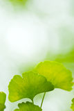 Ginkgo leaf royalty free stock photo