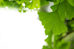 Ginkgo leaf background Royalty Free Stock Photography