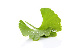 Ginkgo leaf with dew. Royalty Free Stock Image