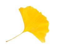 Ginkgo leaf Royalty Free Stock Photos