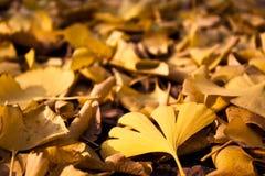 Ginkgo leaf Royalty Free Stock Photo