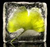 Ginkgo leaf frozen in ice Royalty Free Stock Photo