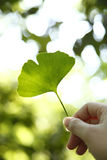 Ginkgo Leaf (Ginkgo Biloba) Royalty Free Stock Photo