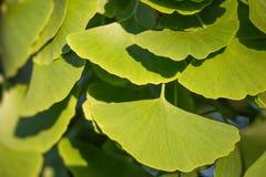 Ginkgo Leaf Stock Images